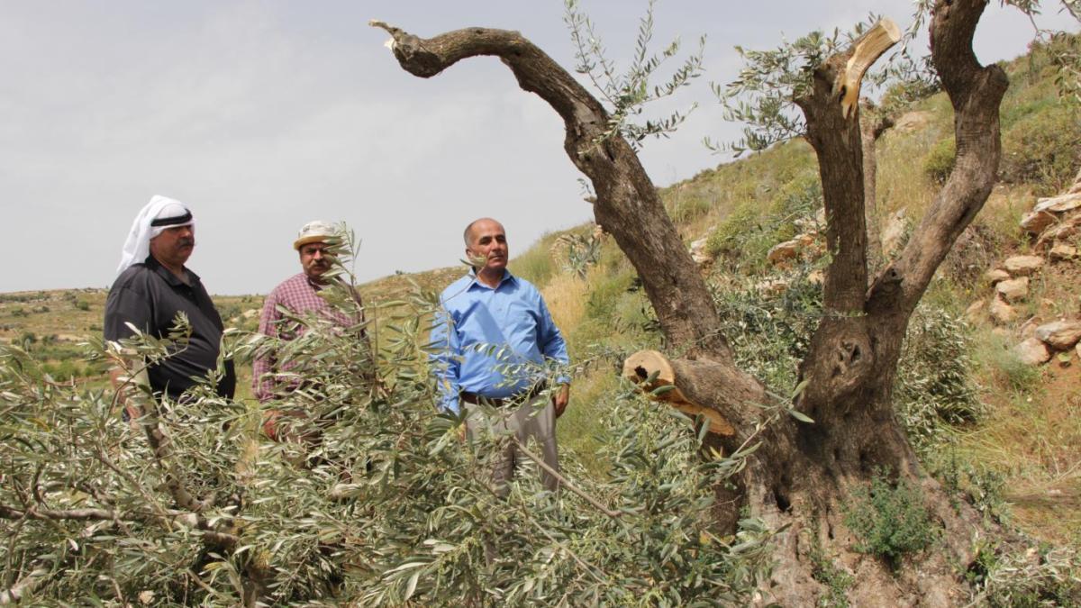 Les colons sionistes s'en prennent aux oliviers palestiniens !