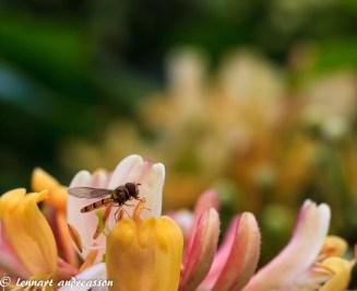 Blomterfluga i Kaprifol