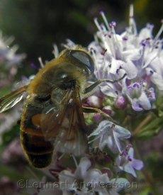 Dags för lite nektar