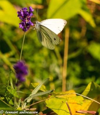 Fjäril på vår sommaräng-2
