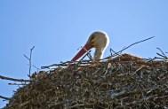 Stork i rede