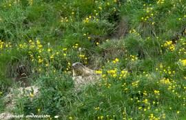 Marmotta i Livigno