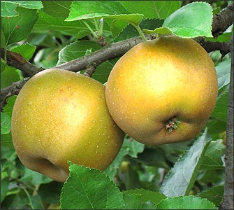 pomme canada