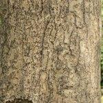 kayu jabon