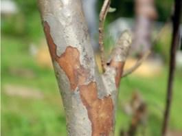 kayu jambu
