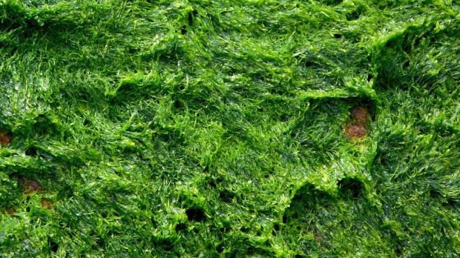algues-energie-verte-co2-jpg