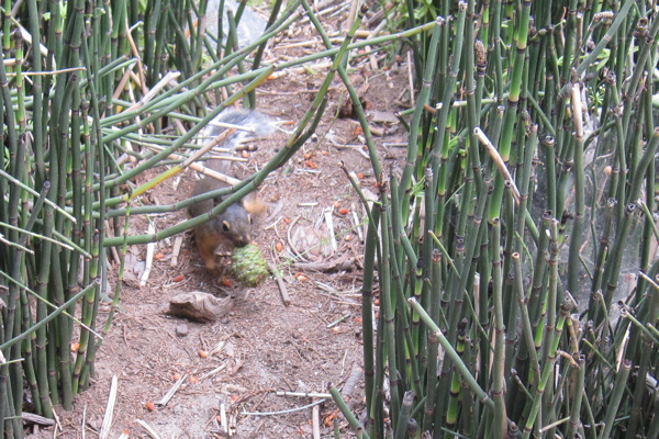 squirrel among horsetail plants