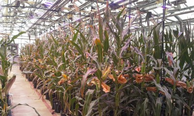 Monsanto greenhouse corn
