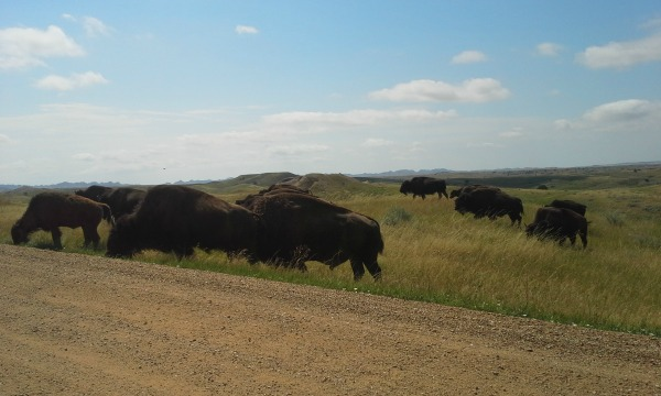 Badlands bison 1