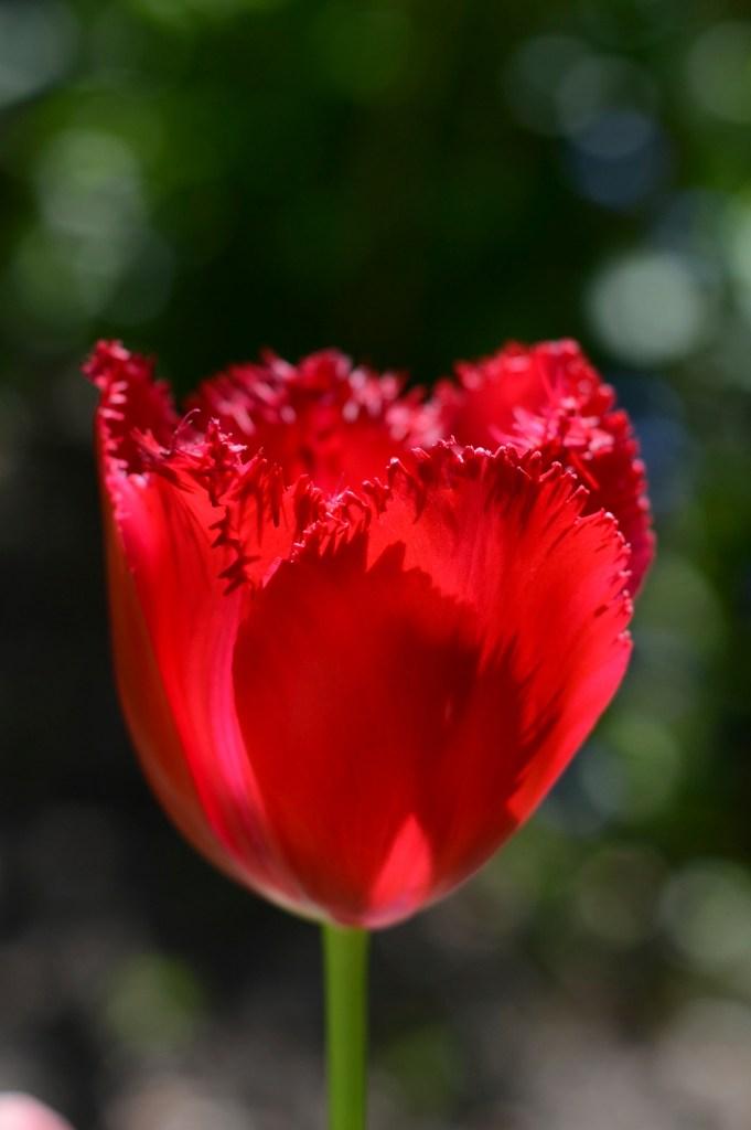 Red Koolaid tulip