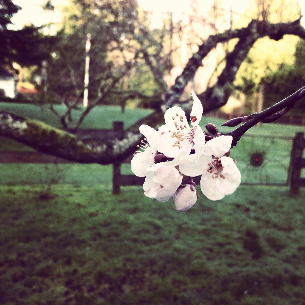 Plum Blossom on Bainbridge