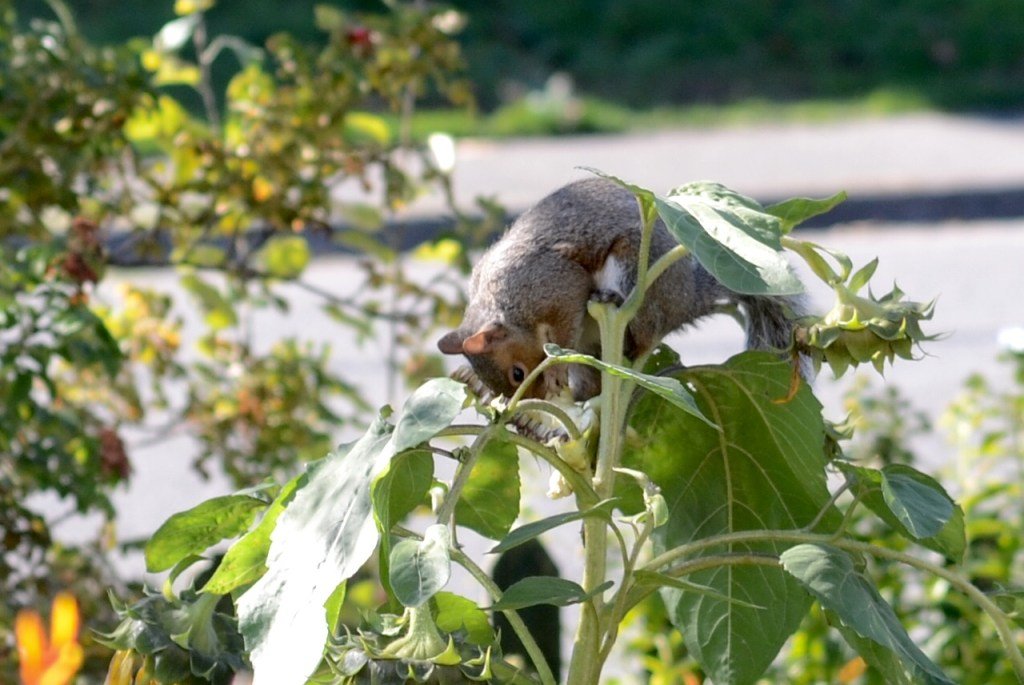 Squirrel Hiding in Sunflower