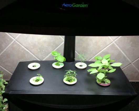 Aero-Garden Day 21