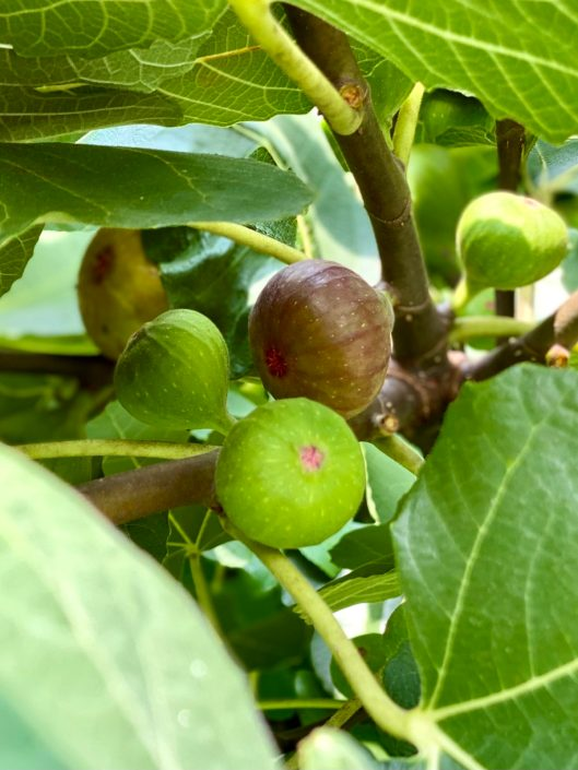 Close-up shot of fresh figs on the tree