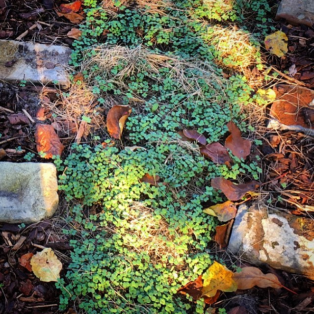 Little mustard plants sprouting and capturing nutrients for our soil
