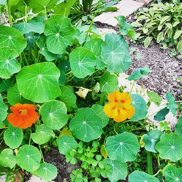 Nasturtium and golden sage