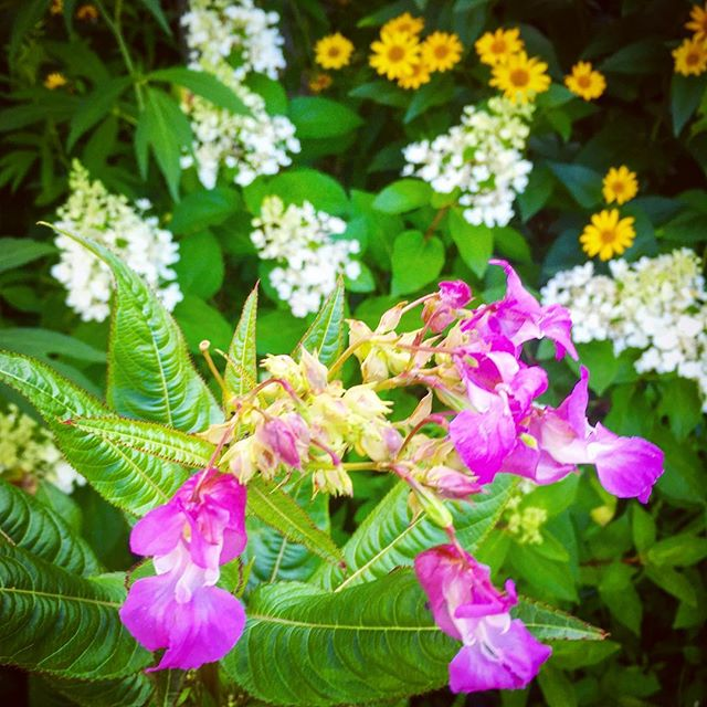 July blossoms  #hydrangeapaniculata #heliopsis #impatiensglandulifera