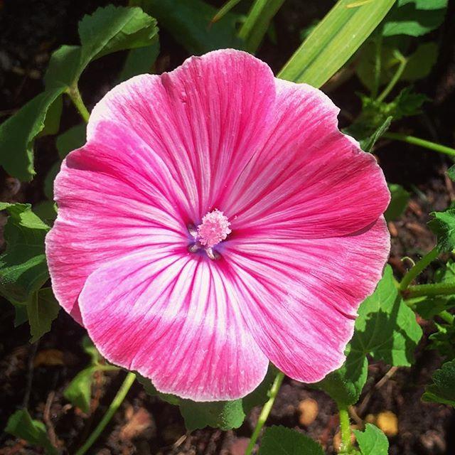 July blossoms #pinkmallow