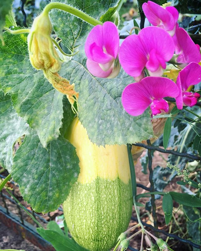 The big squash plant is making bicolor fruit now