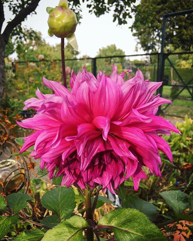 Late blooming #dahlia