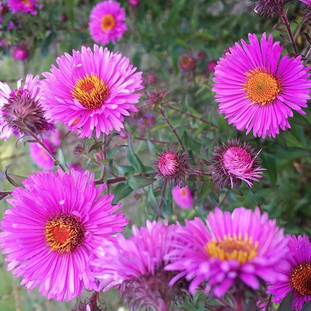 October blooms #aster