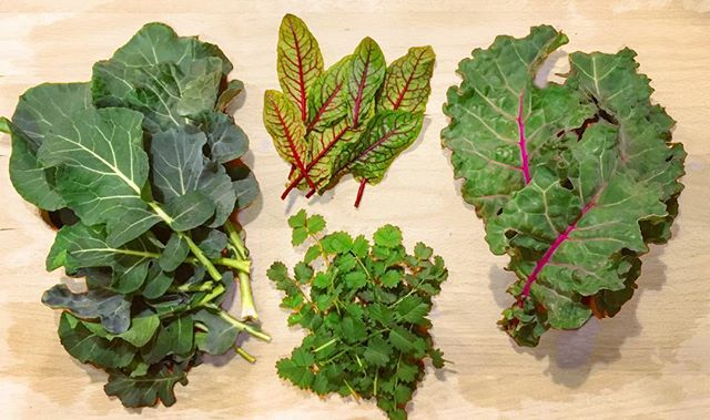 Winter greens harvest: kale, broccoli, bloody dock, pimipinelle.