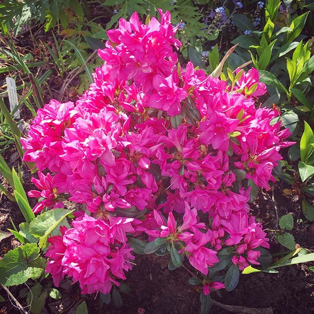 #azalea is happy with the rain #mayblossoms