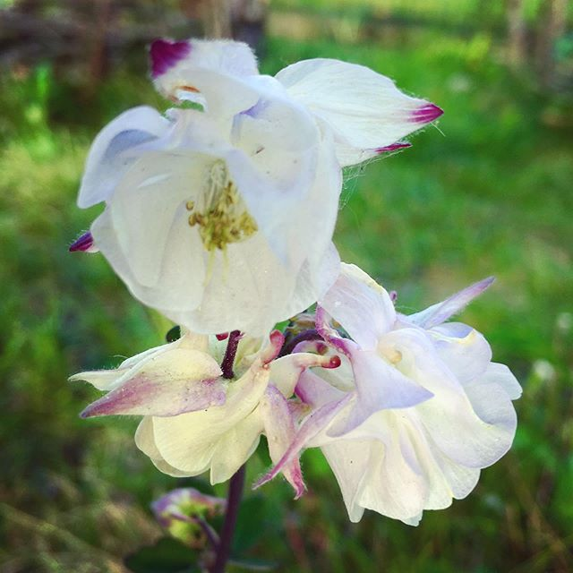 #columbines still going. Love this white one with purple tips.