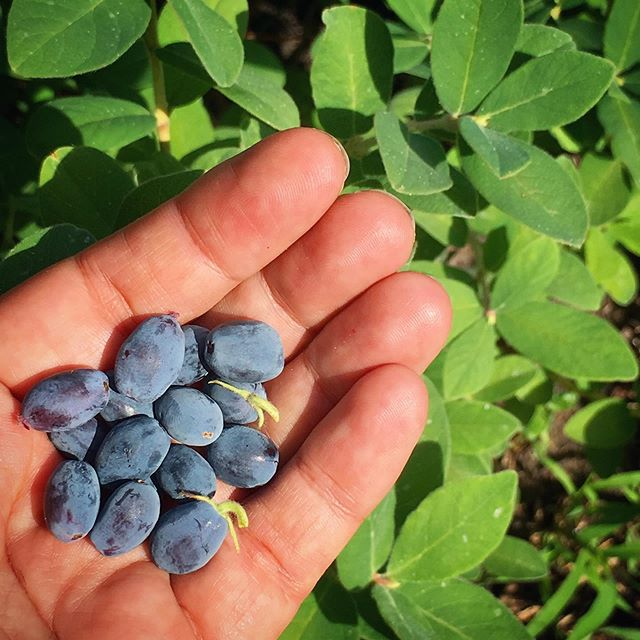 #honeyberries first harvest and new favorite