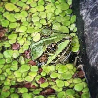 Closeup of Robert the frog. 📸 by Freya