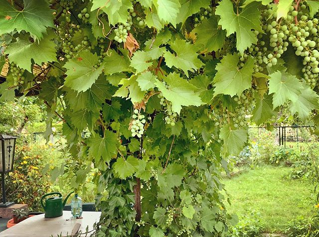 Grapes swelling up