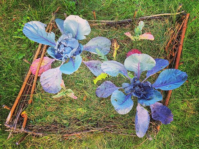 Blue cabbage. Not growing much but loving the colors.