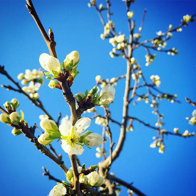 Plum blossom time
