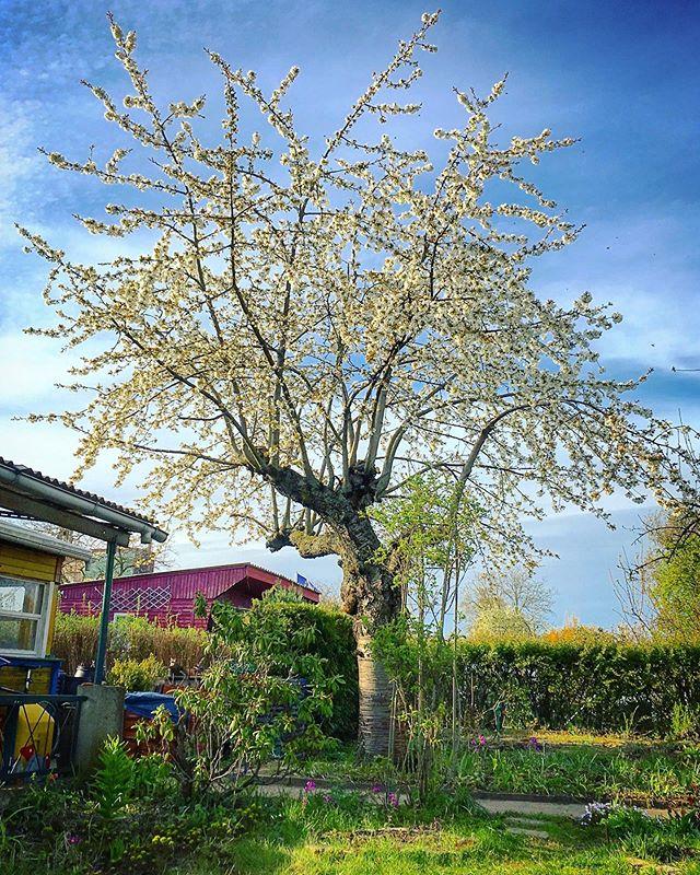 Cherry starting to blossom