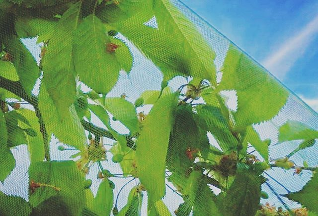 Sorry cherry flies, not all branches are available this year 🍒🚫🐛