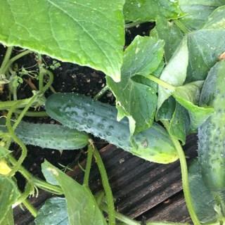 Cucumber grown by Lena Talks