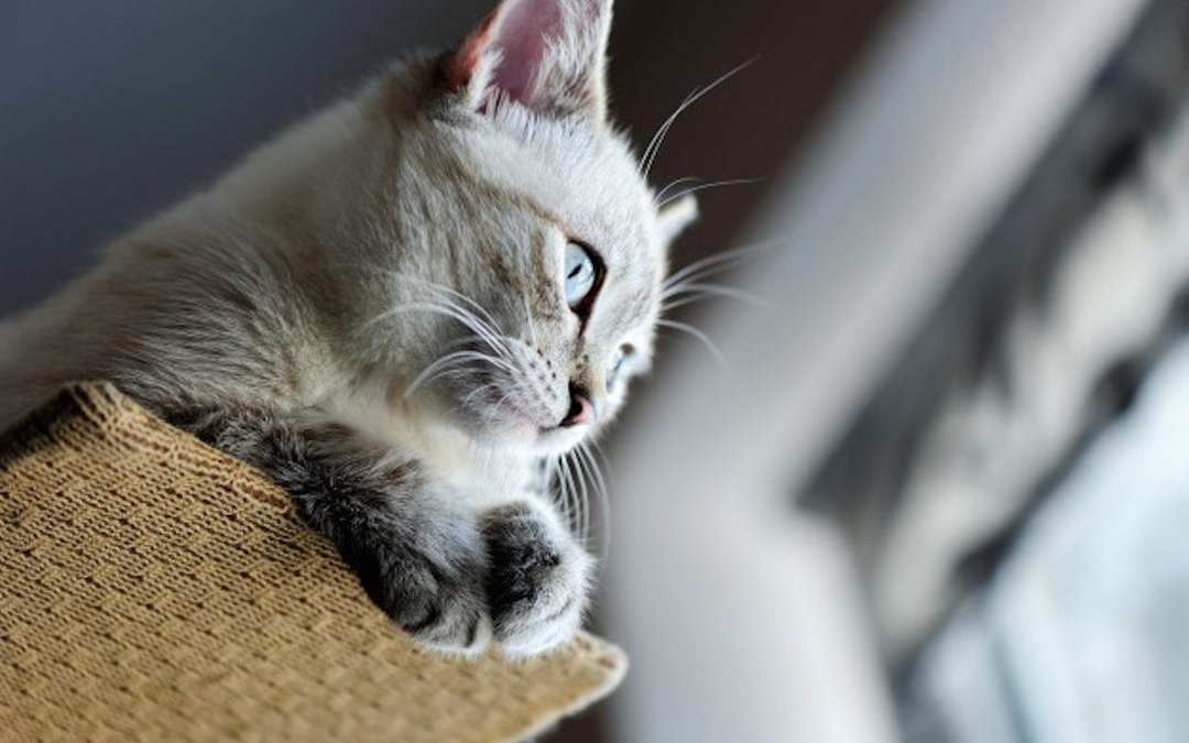 Gato lenda