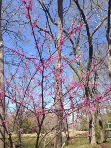 Redbud in the backyard