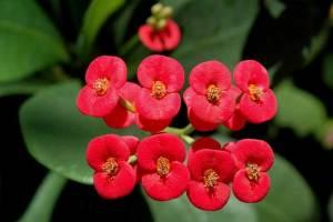 Euphorbia Bunga Delapan Dewa
