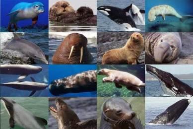 Ciri-ciri Mamalia Laut