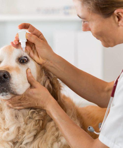 cegueira em cachorros