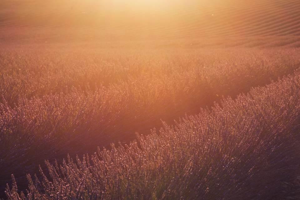 Golden Lavender