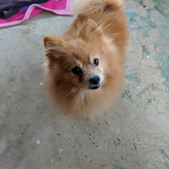 Joey the pomeranian looking into the camera