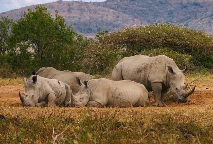 Rhinocéros Hluhluwe Imfolozi Léopard voyage