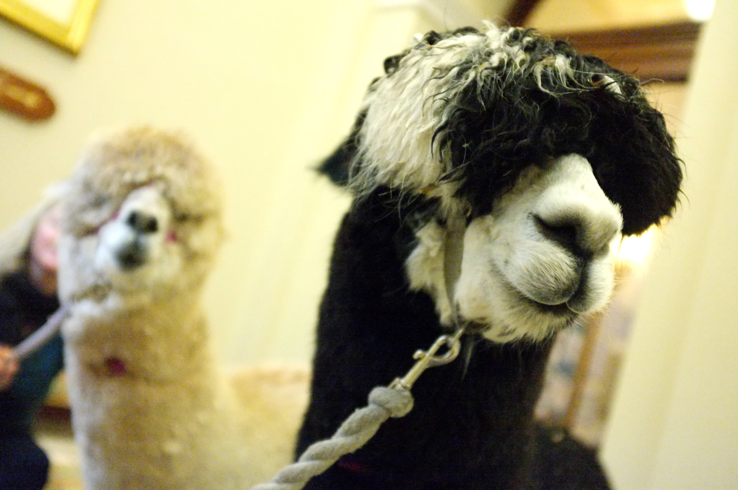 Close up shot of black alpaca in the hallway of trenython manor