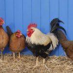 Poulehouse : l'oeuf qui ne tue pas la poule !