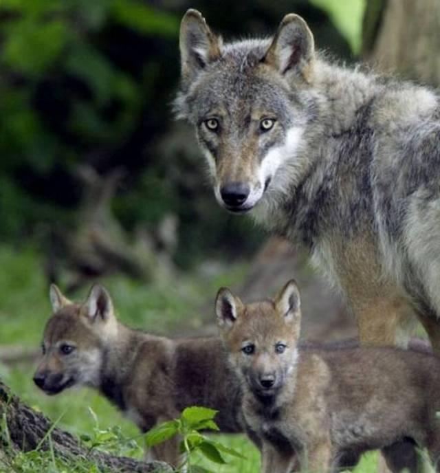 """Les loups victimes des """"tirs de loups"""" sont obligé de fuir pour survivre, ce qui mécaniquement les réparti de plus en plus sur le territoire français. Est-ce vraiment la solution ?"""