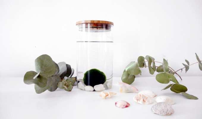 Foto Marimo - novità sulle piante - LePlume