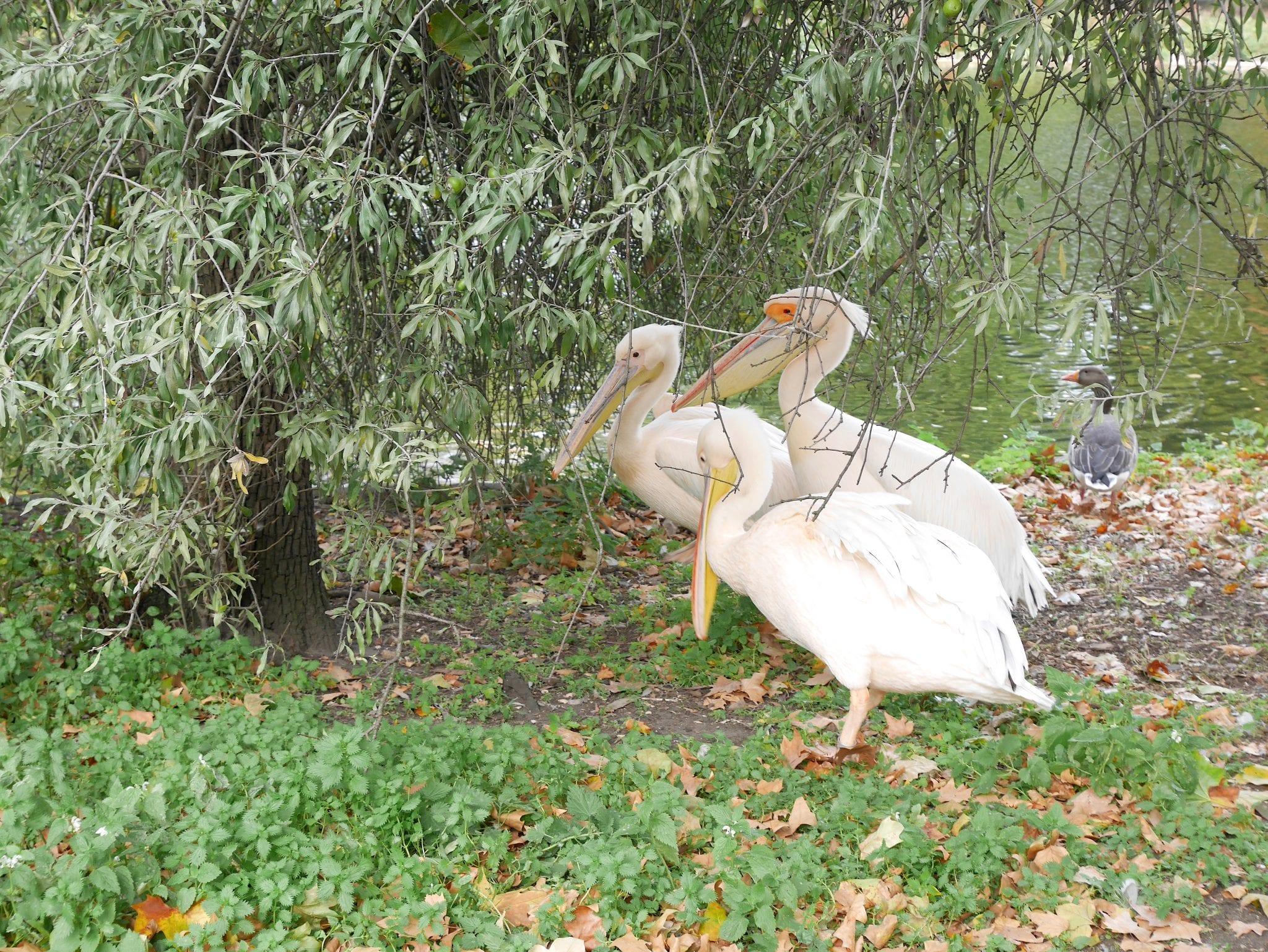Pellicani - St Jame's Park - Prima volta a Londra - Le Plume
