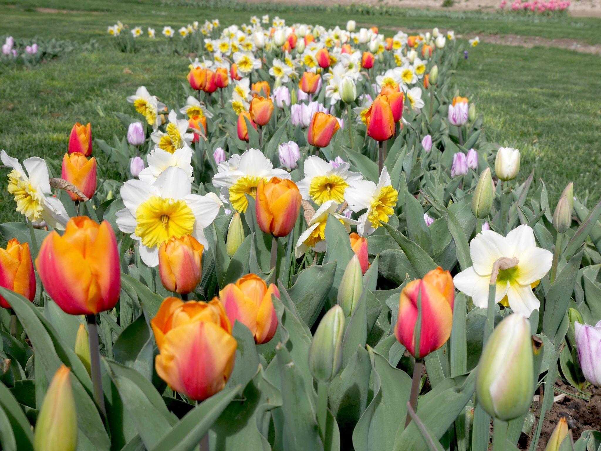 Aiuola tulipani e narcisi - Tulipani in Sardegna - Le Plume